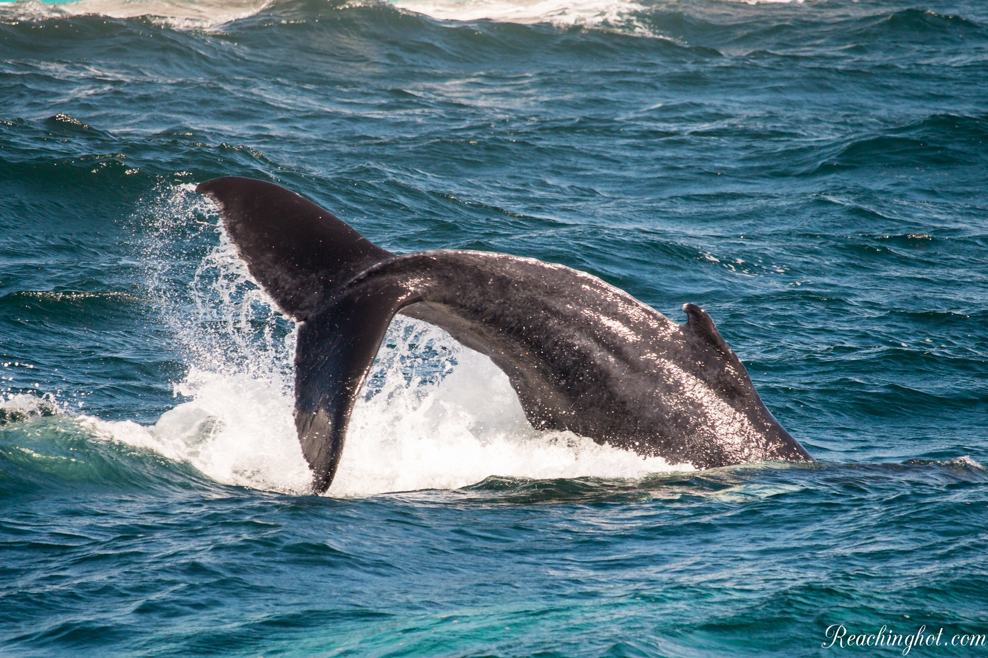 Reachinghot at whale watching tour in Samaná, Dominican Republic