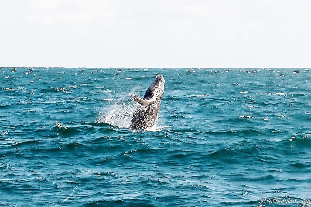 Reachinghot in whale watching in Samaná, Dominican Republic