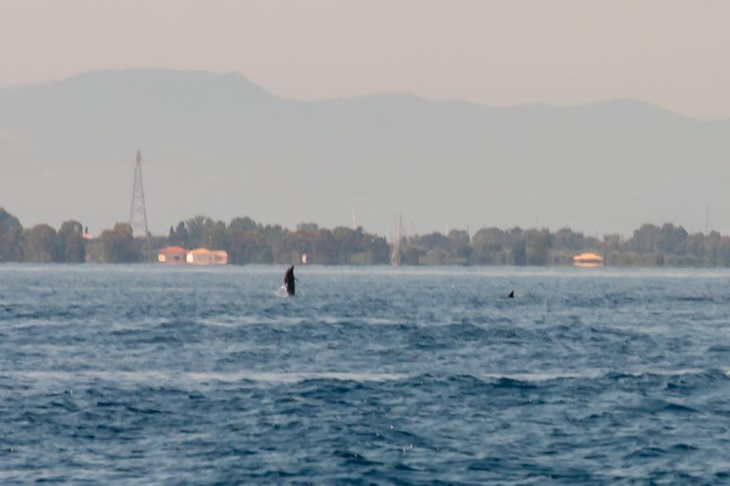 Dolphins in Lefkada, Greece